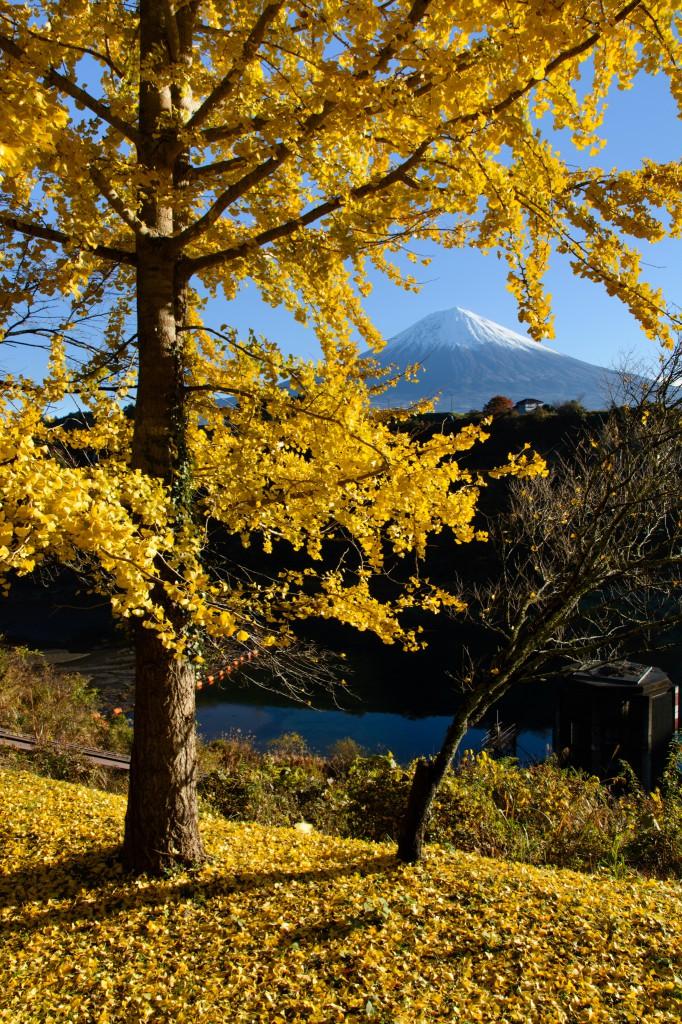 富士山とイチョウの木