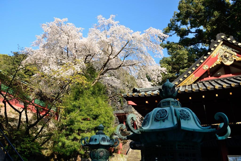 久能山東照宮の桜