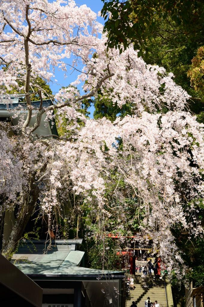 楼門(ろうもん)前の桜