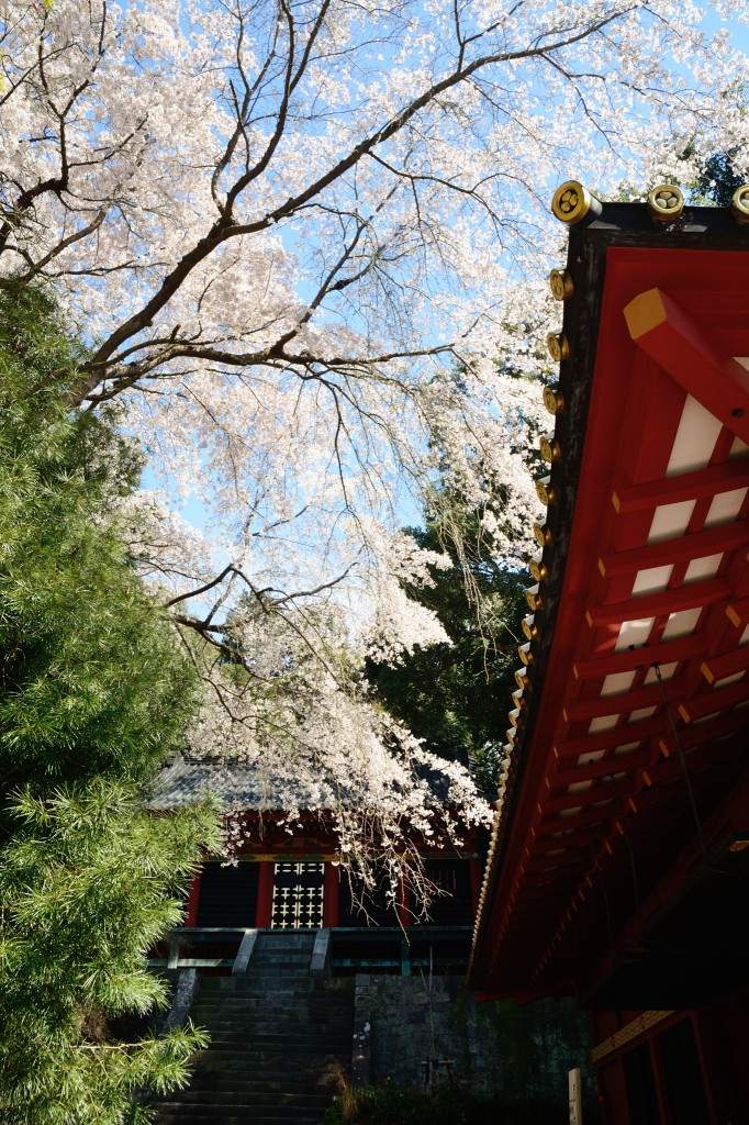 神楽殿と桜の奥に神庫が見える