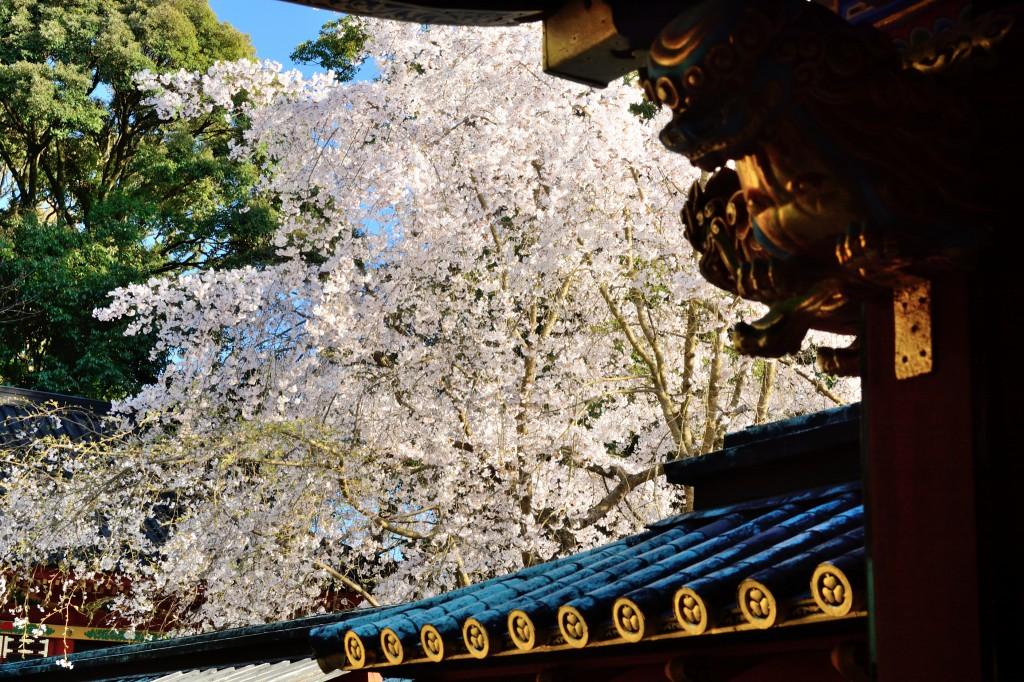 御社殿内から見る桜
