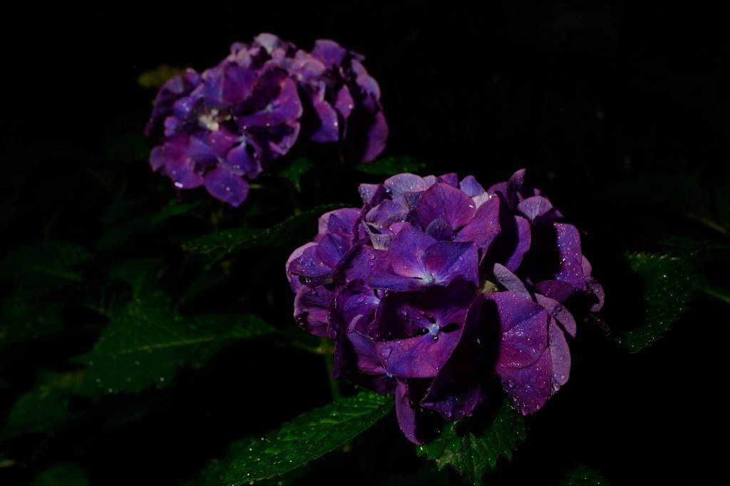 紫陽花 ND16 フラッシュ使用