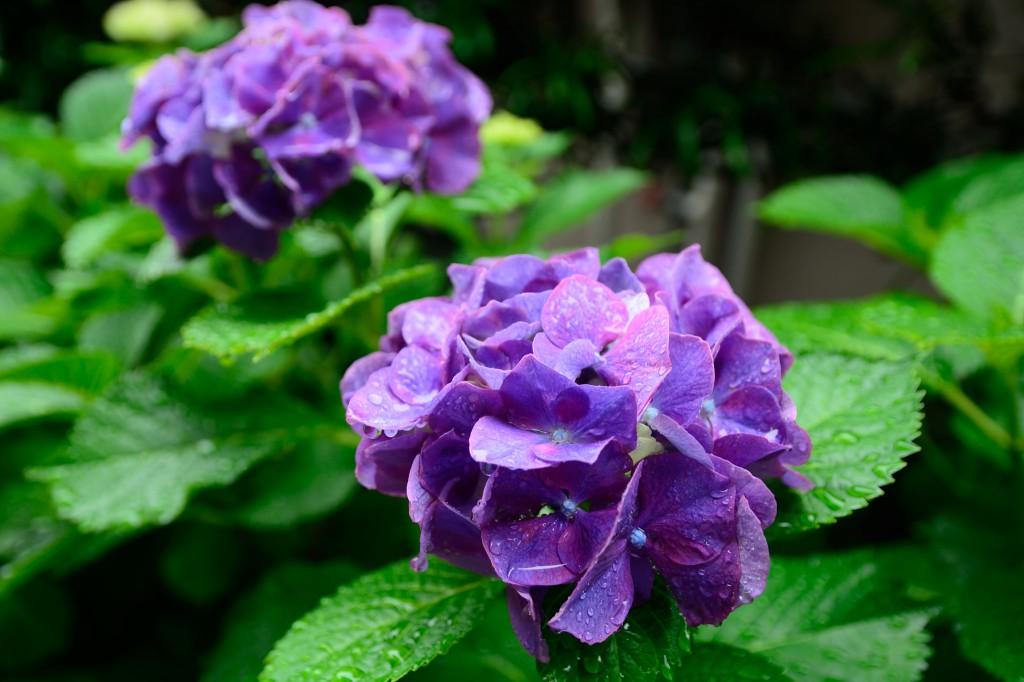 紫陽花 フィルタなし 自然光